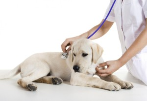 vacciner_son_chiot
