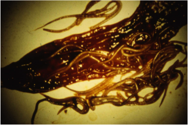 Pouvoir pathogène des parasites