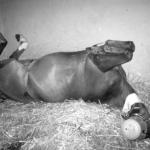 parasitisme cheval
