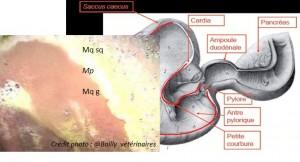 anatomie_estomac