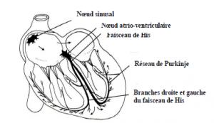 Schéma représentatif d'une coupe médiane du coeur